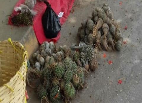 Prevalece la venta ilegal de cactáceas