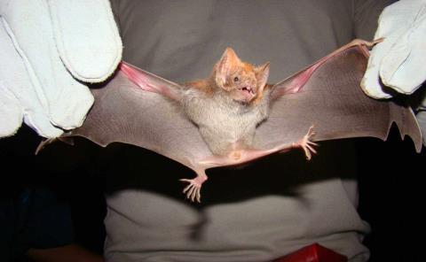 Alerta por murciélagos