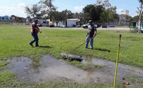 Tamuín ahora es tierra de cocodrilos