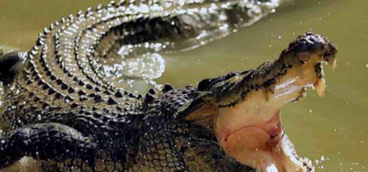 Alertan por cocodrilos
