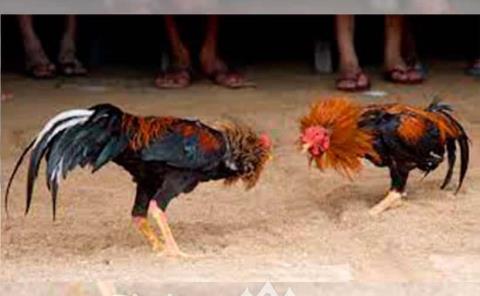 Regresó decreto de las peleas de gallos