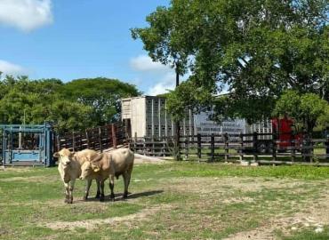 Prioridad repoblar hatos ganaderos
