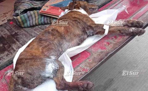 Denuncias por maltrato animal, no han procedido