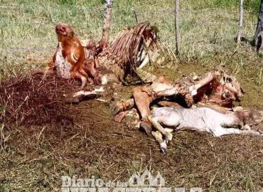 Cuatreros roban y  destazan una vaca