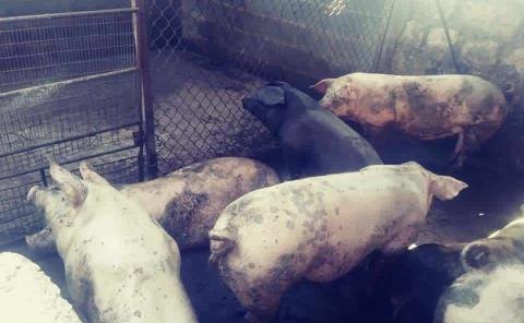 Activan alerta por peste en cerdos