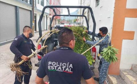POLICÍA DE AJACUBA LOCALIZA PLANTAS DE MARIHUANA EN CABECERA MUNICIPAL