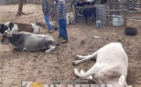 Mortal consumo de pollinaza en ganado