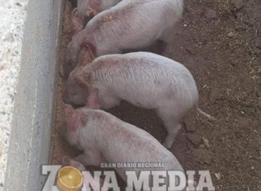 Coepris dará curso a productores porcinos