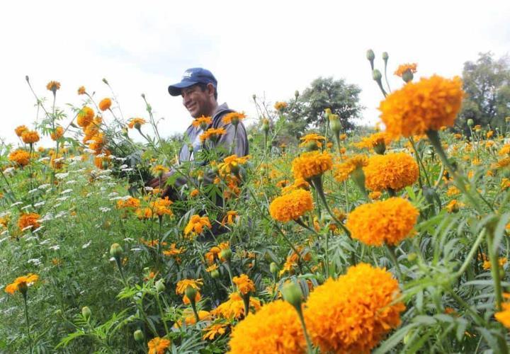 Pocos cultivan la flor de muerto