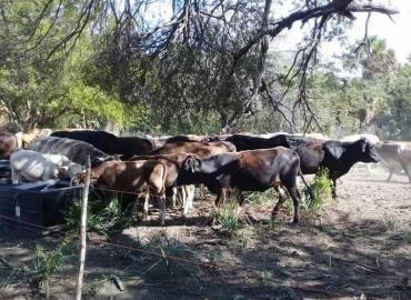 Cercos y areteo frenan ganadería