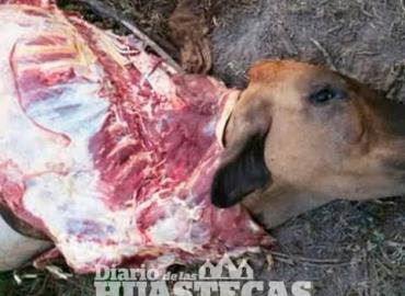Descuartizan vaca preñada
