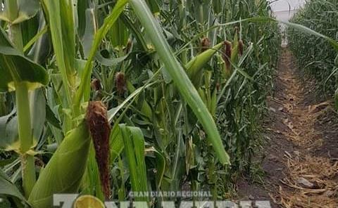 Plagas azotan campos de hortalizas y granos
