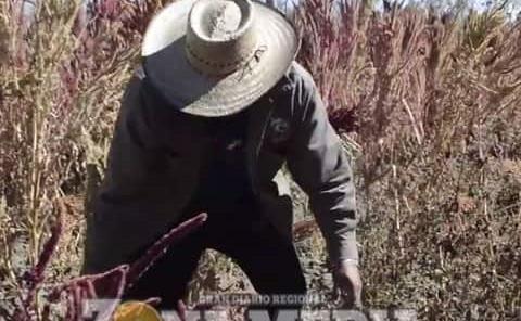Impulsará siembra de amaranto: Sader